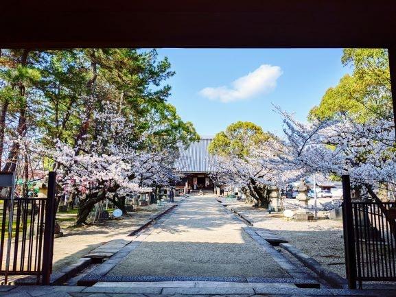 桜の季節の大樹寺